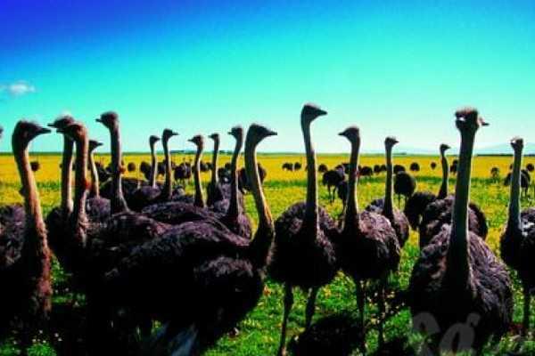 南非鸵鸟园