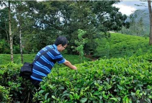 blue field tea factory